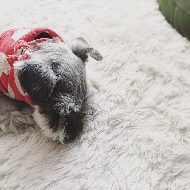 二度寝中ですが、もうすぐお出かけですよ〜#dog #dogstagram #schnauzer #シュナウザー #シュナ #ミニチュアシュナウザー #miniatureschnauzer #くるんくるんは会長 #schnauzerlovers  #dogofthedayjp #instadog (Instagram)