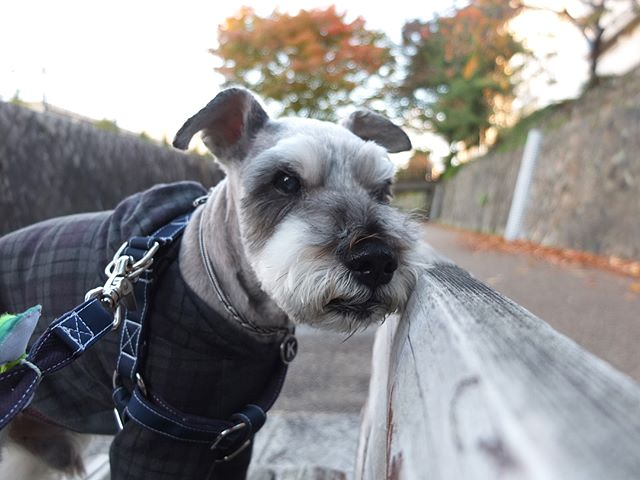 何と2ヶ月ぶりにスッキリしたクルンクルンよっ!男前っ!秋の装いはしてるけど行ったのはいつもの散歩コースだけ紅葉見に行きたいね〜♪#dog #dogstagram #schnauzer #シュナウザー #シュナ #ミニチュアシュナウザー #miniatureschnauzer #くるんくるんは会長 #schnauzerlovers  #dogofthedayjp #instadog #会長14歳の秋 (Instagram)