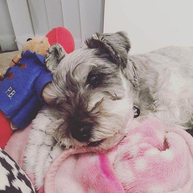 夜の散歩にいこ〜と思って振り向いたらパディントンと仲良しさんやったピンクのモケモケは今年も活躍中。#dog #dogstagram #schnauzer #シュナウザー #シュナ #ミニチュアシュナウザー #miniatureschnauzer #くるんくるんは会長 #schnauzerlovers  #dogofthedayjp #instadog (Instagram)
