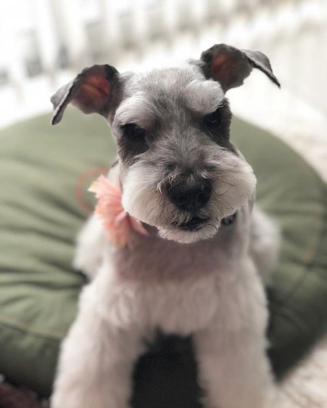 顔まわりとシャンプーしてきたら、ピンクのお花を背負って帰ってきたクルンクルン。#dog #dogstagram #schnauzer #シュナウザー #シュナ #ミニチュアシュナウ  ザー #miniatureschnauzer #くるんくるんは会長 #schnauzerlovers  #dogofthedayjp #instadog (Instagram)