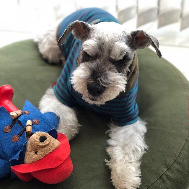 パディントンがやや邪魔気味らしい今日の午後。怒っているようにも見える。#dog #dogstagram #schnauzer #シュナウザー #シュナ #ミニチュアシュナウ  ザー #miniatureschnauzer #くるんくるんは会長 #schnauzerlovers  #dogofthedayjp #instadog (Instagram)