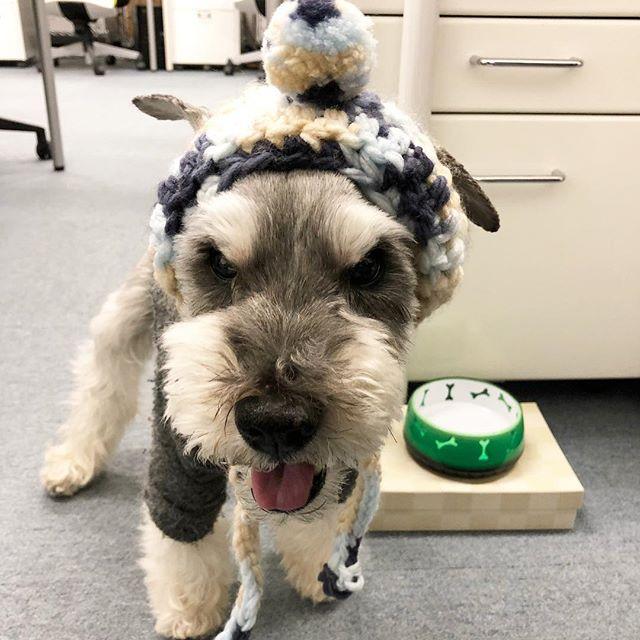 昨日の夕方は小雪ちらつく中、打ち合わせへ出かけました。散髪して初めての帽子良い感じ〜.#dog #dogstagram #schnauzer #シュナウザー #シュナ #ミニチュアシュナウザー  #miniatureschnauzer #くるんくるんは会長 #schnauzerlovers #dogofthedayjp #instadog (Instagram)