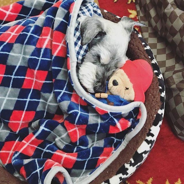 クル日誌。クルンクルンはもう寝ています、散歩も良く歩きます。byのりこ#dog #dogstagram #schnauzer #シュナウザー #シュナ #ミニチュアシュナウザー  #miniatureschnauzer #くるんくるんは会長 #schnauzerlovers #dogofthedayjp #instadog (Instagram)