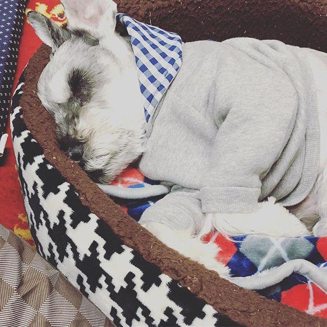 明日から出張なのでクルンクルンを実家へ。リラックスしすぎて全然遊んでくれない。お留守番よろしく#dog #dogstagram #schnauzer #シュナウザー #シュナ #ミニチュアシュナウザー  #miniatureschnauzer #くるんくるんは会長 #schnauzerlovers #dogofthedayjp #instadog (Instagram)