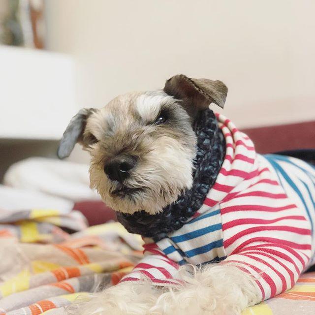 先日実家に預けてる間、寒かったらしく母がネックウォーマー作ってくれたらしい。良かったね、クルンクルン!#dog #dogstagram #schnauzer #シュナウザー #シュナ #ミニチュアシュナウザー #miniatureschnauzer #くるんくるんは会長 #schnauzerlovers  #dogofthedayjp #instadog (Instagram)