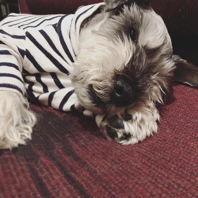 自分の手を枕にして器用に寝てるところ、つついて見たら目が開いた🤫#dog #dogstagram #schnauzer #シュナウザー #シュナ #ミニチュアシュナウザー #miniatureschnauzer #くるんくるんは会長 #schnauzerlovers  #dogofthedayjp #instadog (Instagram)