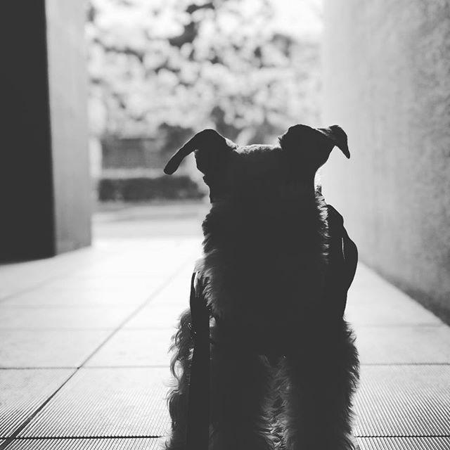 今日も暖かい1日でした🌞#dog #dogstagram #schnauzer #シュナウザー #シュナ #ミニチュアシュナウザー #miniatureschnauzer #くるんくるんは会長 #schnauzerlovers  #dogofthedayjp #instadog #シルエット (Instagram)