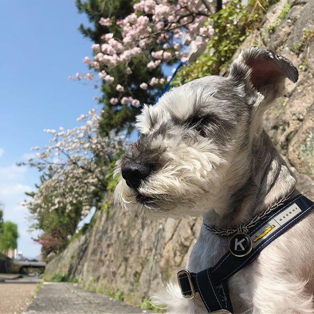 桜をバックに瞑想する。さすが会長オヤツのことなんて考えてない!#dog #dogstagram #schnauzer #シュナウザー #シュナ #ミニチュアシュナウザー #miniatureschnauzer #くるんくるんは会長 #schnauzerlovers  #dogofthedayjp #instadog (Instagram)