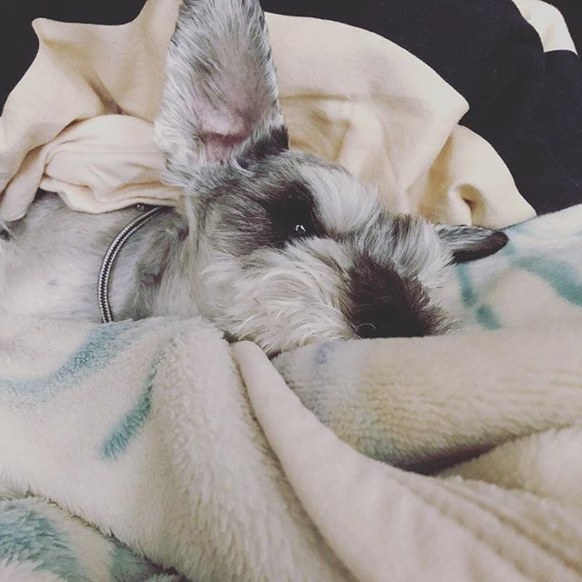 冷んやりするからか、なかなか布団から出てこなかったけど、出かける準備をするフリをして起こす!#dog #dogstagram #schnauzer #シュナウザー #シュナ #ミニチュアシュナウザー #miniatureschnauzer #くるんくるんは会長 #schnauzerlovers  #dogofthedayjp #instadog (Instagram)