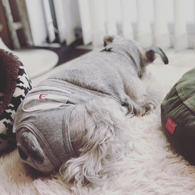 おニューなマナーガードをつけて夕寝中。装着してみたら、首から引っ掛けれるのでこれならなんぼ歩いてもずれない!#dog #dogstagram #schnauzer #シュナウザー #シュナ #ミニチュアシュナウザー #miniatureschnauzer #くるんくるんは会長 #schnauzerlovers  #dogofthedayjp #instadog (Instagram)