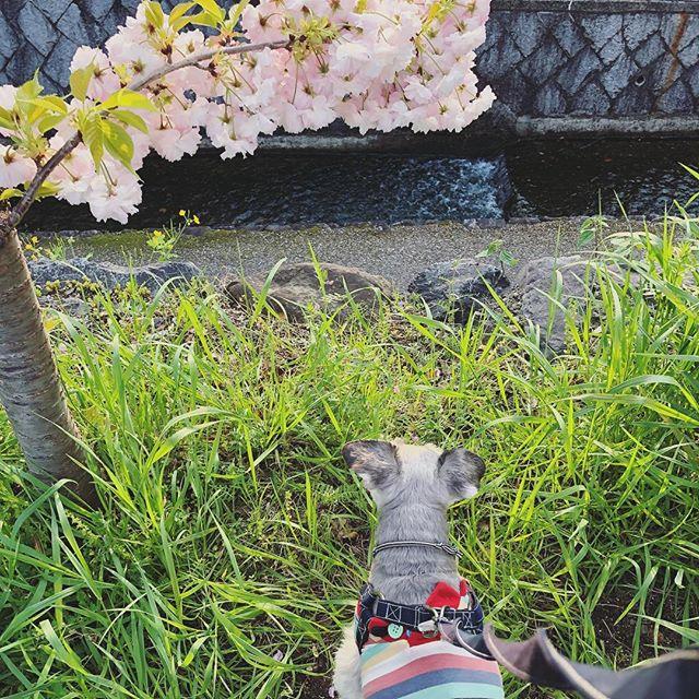 いつもの散歩コースは八重桜がモリモリです#dog #dogstagram #schnauzer #シュナウザー #シュナ #ミニチュアシュナウザー #miniatureschnauzer #くるんくるんは会長 #schnauzerlovers  #dogofthedayjp #instadog (Instagram)