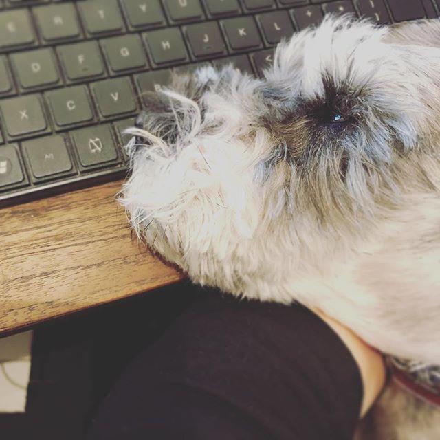 よけて#dog #dogstagram #schnauzer #シュナウザー #シュナ #ミニチュアシュナウザー #miniatureschnauzer #くるんくるんは会長 #schnauzerlovers  #dogofthedayjp #instadog (Instagram)