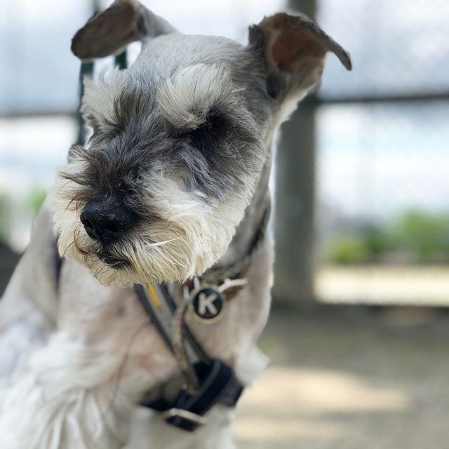ジィさんランチの前に一歩き。ハチとキナコとランチに行ってきました〜前に住んでた場所の近所だったので早めに行って懐かしい場所を散策。#dog #dogstagram #schnauzer #シュナウザー #シュナ #ミニチュアシュナウザー #miniatureschnauzer #くるんくるんは会長 #schnauzerlovers  #dogofthedayjp #instadog (Instagram)