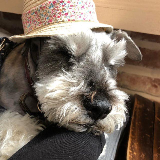クル孝行と言う名のマキ孝行。まぁ美味しいクッキー買ってくれたし許したろか。 #dog #dogstagram #schnauzer #シュナウザー #シュナ #ミニチュアシュナウザー #miniatureschnauzer #くるんくるんは会長 #schnauzerlovers  #dogofthedayjp #instadog (Instagram)
