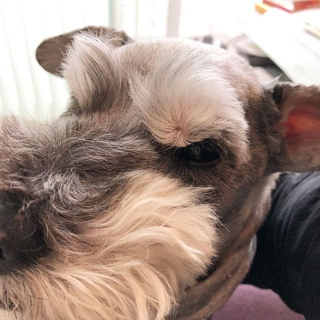 今日はこっちを下にして昼寝してたんだね。眉毛がぺちゃんこよ🤣#dog #dogstagram #schnauzer #シュナウザー #シュナ #ミニチュアシュナウザー #miniatureschnauzer #くるんくるんは会長 #schnauzerlovers  #dogofthedayjp #instadog (Instagram)