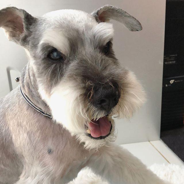 散髪帰り暑かったーおやつよこせー!ツルンツルンなクルンクルンの出来上がり。#dog #dogstagram #schnauzer #シュナウザー #シュナ #ミニチュアシュナウザー #miniatureschnauzer #くるんくるんは会長 #schnauzerlovers  #dogofthedayjp #instadog (Instagram)