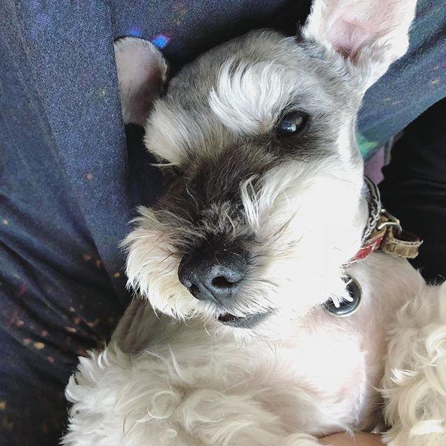 今日の寝癖はちょっと可愛い。ヒゲが踊る。#dog #dogstagram #schnauzer #シュナウザー #シュナ #ミニチュアシュナウザー #miniatureschnauzer #くるんくるんは会長 #schnauzerlovers  #dogofthedayjp #instadog (Instagram)