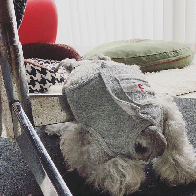 席を離れた隙にお腹が冷たくて気持ち良いらしい。が、申し訳ないけど避けてもらった#dog #dogstagram #schnauzer #シュナウザー #シュナ #ミニチュアシュナウザー  #miniatureschnauzer #くるんくるんは会長 #schnauzerlovers #dogofthedayjp #instadog #くるんくるんは15歳 (Instagram)