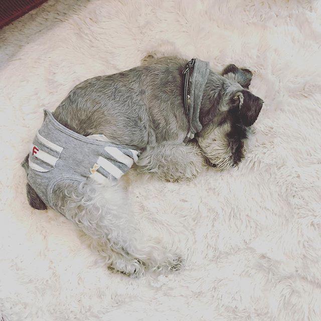 朝から雨の中カッパ着て散歩行ったのに、帰ってきたらカッパで隠れてるはずのボディまでびしょ濡れ濡れてテンション上がって走り回り、疲れて寝るの図。#dog #dogstagram #schnauzer #シュナウザー #シュナ #ミニチュアシュナウザー #miniatureschnauzer #くるんくるんは会長 #schnauzerlovers  #dogofthedayjp #instadog #くるんくるんは15歳 (Instagram)