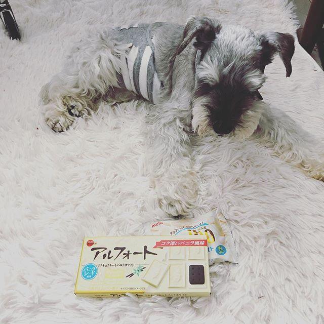 某コンビニのクジで当たったけど、チョコ食べれない人と、もちろん食べてはいけない会長。チョコ菓子を持て余す1人と1匹。コンビニのお菓子ってチョコ系がやたらと多いのはなんで何だろう🧐#dog #dogstagram #schnauzer #シュナウザー #シュナ #ミニチュアシュナウザー  #miniatureschnauzer #くるんくるんは会長 #schnauzerlovers #dogofthedayjp #instadog (Instagram)