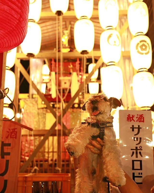 祇園祭の宵々々山の時に撮ってもらった丸出しショット📸蟷螂山バックに。@mugi_tsuku さんありがと〜!#dog #dogstagram #schnauzer #シュナウザー #シュナ #ミニチュアシュナウザー  #miniatureschnauzer #くるんくるんは会長 #schnauzerlovers #dogofthedayjp #instadog #くるんくるんは15歳 (Instagram)