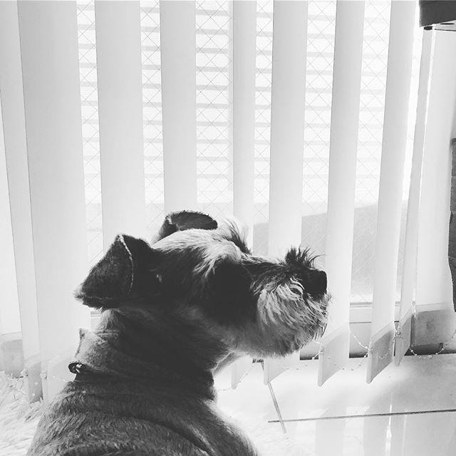 もうすぐ散歩なのになんか雨の音がしてるよー通り雨だと良いな〜☂️ゆうてる間に止んだ。#dog #dogstagram #schnauzer #シュナウザー #シュナ #ミニチュアシュナウザー #miniatureschnauzer #くるんくるんは会長 #schnauzerlovers  #dogofthedayjp #instadog #くるんくるんは15歳 (Instagram)