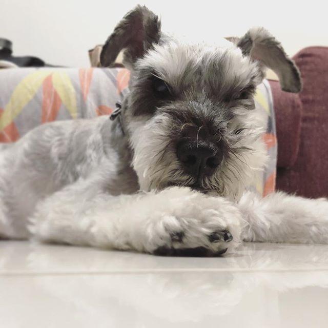 なんか用っすか?なんか既にモッサリしてきてる。。。#dog #dogstagram #schnauzer #シュナウザー #シュナ #ミニチュアシュナウザー  #miniatureschnauzer #くるんくるんは会長 #schnauzerlovers #dogofthedayjp #instadog #くるんくるんは15歳 (Instagram)