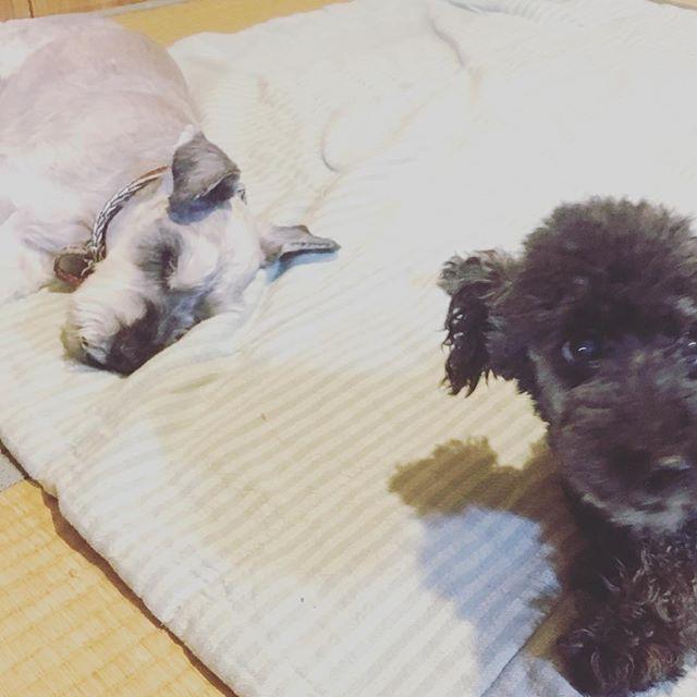 先週の事。人の家で本気寝するクルンと、そんなお爺さんを温かく見守る?土ちゃん。#dog #dogstagram #schnauzer #シュナウザー #シュナ #ミニチュアシュナウザー  #miniatureschnauzer #くるんくるんは会長 #schnauzerlovers #dogofthedayjp #instadog (Instagram)