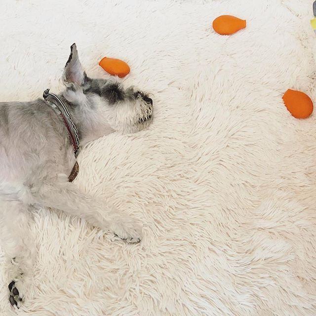 外は台風の影響で雨風が強くなってきたけど、音も気にせず靴下🧦も脱ぎ散らかして二度寝中の会長。#dog #dogstagram #schnauzer #シュナウザー #シュナ #ミニチュアシュナウザー #miniatureschnauzer #くるんくるんは会長 #schnauzerlovers  #dogofthedayjp #instadog #くるんくるんは15歳 (Instagram)