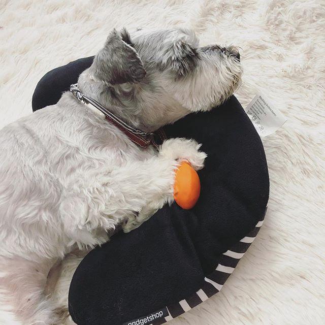 今日は私の機内用枕でスヤスヤとお昼寝。と言うか、この枕が転がっていること自体がおかしいわけよ#dog #dogstagram #schnauzer #シュナウザー #シュナ #ミニチュアシュナウザー  #miniatureschnauzer #くるんくるんは会長 #schnauzerlovers #dogofthedayjp #instadog #くるんくるんは15歳 (Instagram)