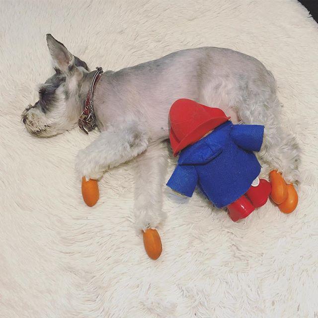 寝てるすきにやってみた!なんか色々と間違っている気はするが🍼#dog #dogstagram #schnauzer #シュナウザー #シュナ #ミニチュアシュナウザー  #miniatureschnauzer #くるんくるんは会長 #schnauzerlovers #dogofthedayjp #instadog #くるんくるんは15歳 #授乳ごっこ (Instagram)