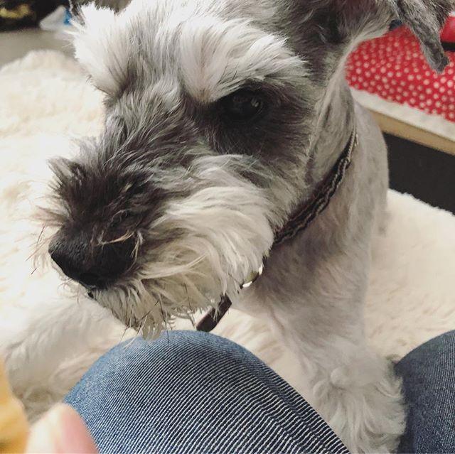 散歩からのオヤツ。大人しく待っていると見せかけて、やっぱり待てない会長。#dog #dogstagram #schnauzer #シュナウザー #シュナ #ミニチュアシュナウザー  #miniatureschnauzer #くるんくるんは会長 #schnauzerlovers #dogofthedayjp #instadog #くるんくるんは15歳 (Instagram)