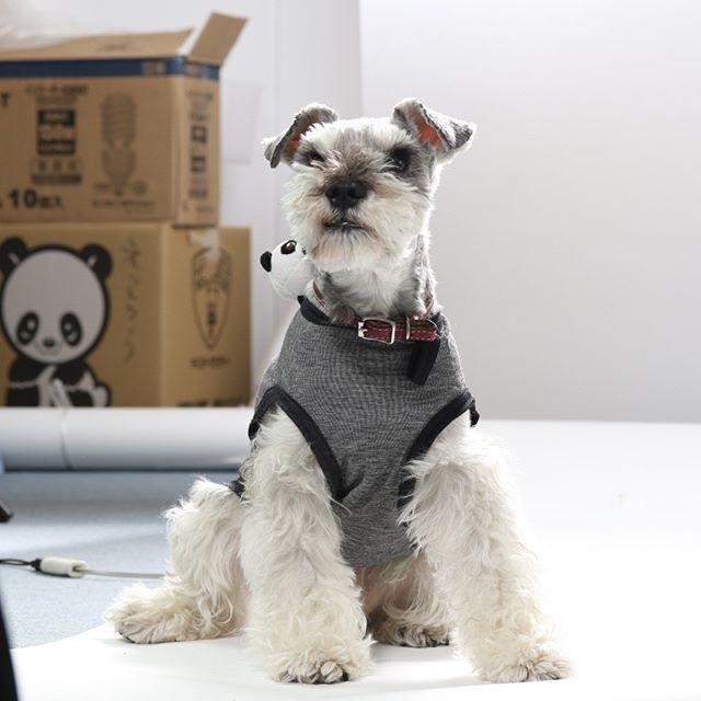 どうやら今日は犬の日らしい。#うちの犬 はなぜかパンダというキーワードと縁があるらしい。#いぬの日 #イヌの日 #わんわんわんの日#dog #dogstagram #schnauzer #シュナウザー #シュナ #ミニチュアシュナウザー  #miniatureschnauzer #くるんくるんは会長 #schnauzerlovers #dogofthedayjp #instadog #頑固ジジイ #くるんくるん は名前です
